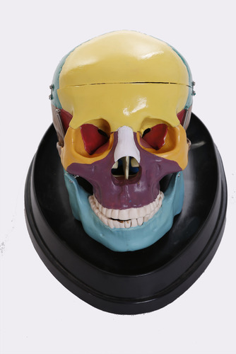 Adult Skull (Coloured) Life Size