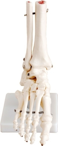 Foot Joint Model